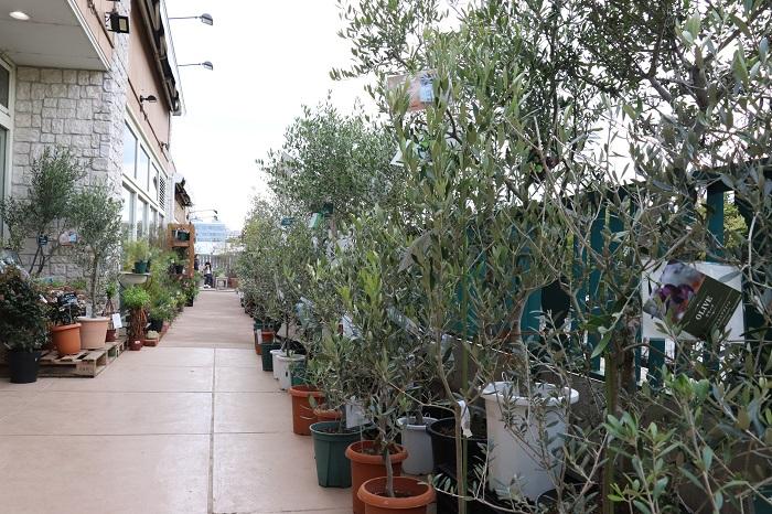 ガーデニングカウンセラー「岡井路子先生」による春のオリーブセミナーに参加するため、プロトリーフガーデンアイランド玉川店を訪れました。毎回、秋のオリーブセミナーに参加してきたので、春は初めて。暖かくなるにつれて芽も根も動き出すオリーブ。お店の入口にたくさんの品種のオリーブが並んでいました。