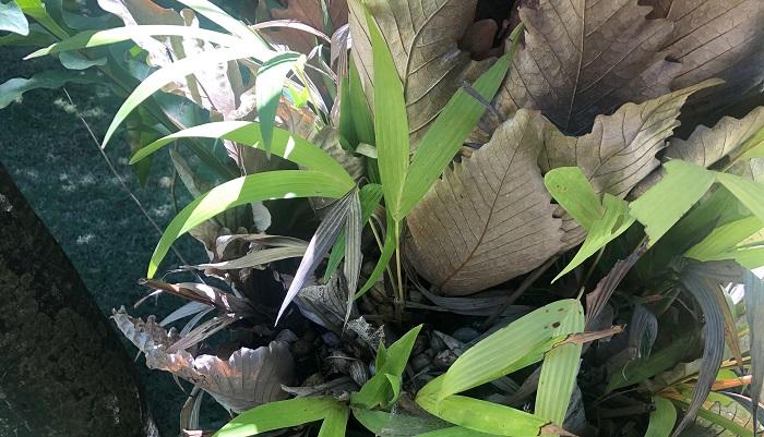 また、シールドの隙間にヤシの実が落下し、発芽しています。ここからまた新しく植物が生まれるとは・・・ドリナリアに影響はないのでしょうか?  植物は生長に適した環境にいるとこんなに大きくなるんだということがわかりました。