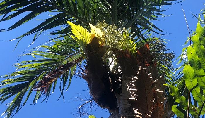 どんどん上に生長してついにヤシの花茎が出てくる部分まで到達しているので、そろそろヤシの成長を阻害しそうな予感です。オーナーが「手でバリバリはがさないとなあ」と言っていたので、バリバリはがされるようです・・・。