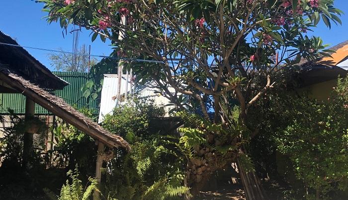 プルメリアの木に着生するドリナリア。プルメリアに立てかけてあるのはバンブーの物干し台です。