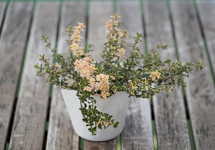 この苗を選んだ理由 ちりばめる細やかなリーフとして、クリーム色の斑が入るフォックスリータイムを選びました。葉に少しふれるだけでとても良い香りがします。5~7月頃にはうす紫色の花も楽しめます。横に生長するので、鉢の外側に伸びやかな流れを作ってくれます。
