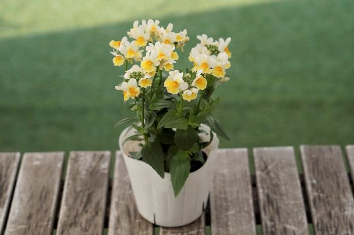 この苗を選んだ理由 オステオスペルマムを引き立たせるイエロー系の小花として、宿根ネメシアを選びました。東京以西の暖かい地域では、霜にあたらなければ越冬して10月~6月頃まで花を楽しめます。
