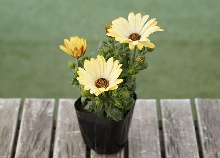 この苗を選んだ理由 育てやすく、花は3~6月と9~11月に楽しめます。オステオスペルマムは、ぱっと目を引く大ぶりの花を咲かせますが、中でもセンター向きの華やかなオステオスペルマムを選びました。  育て方のコツ 日なたと水はけのよい用土を好みます。東京以西の暖かい地域では霜にあたらなければ越冬して大株になります。常緑です。