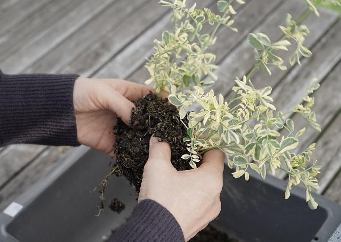 そして、コロニラを株分けします。  土の部分を両手で持ち、優しくもみほぐして根っこが分かれているところを探していきます。なるべく強い力を加えずに、自然に分かれるところをみつけましょう。