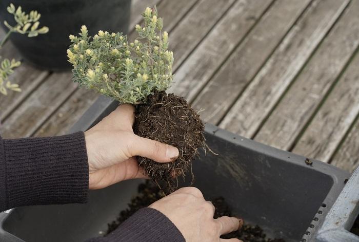 ロータスブリムストーンの株は株分けしにくかったので、土を多めに落として土の部分を小さくして1ヵ所に植えることにしました。