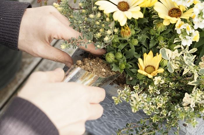 苗を全部配置したら、苗と苗の間に土を入れます。外側から一周、土を入れては指でつっつきながらしっかりと入れていきます。真ん中の苗の間にも隙間があります。苗がぐらつかないようにしっかりと土を入れましょう。