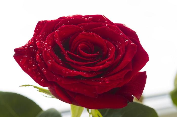 赤いバラの花言葉は 「情熱」「あなたを愛します」。