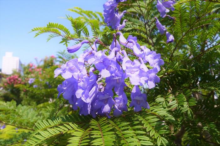 ジャカランダ  学名:Jacaranda  科名:ノウゼンカズラ科キリモドキ属  カエンボク、ホウオウボクと並んで、世界三大花木のひとつとされているジャカランダの花。自生地では10mを超す高木になります。花の時期は初夏。真夏になる前のカラッとした時期に青紫色の花を霞のようにたわわに咲かせます。真っ青な夏の空に浮かぶ紫色のジャカランダの花は、紫煙のような美しさです。