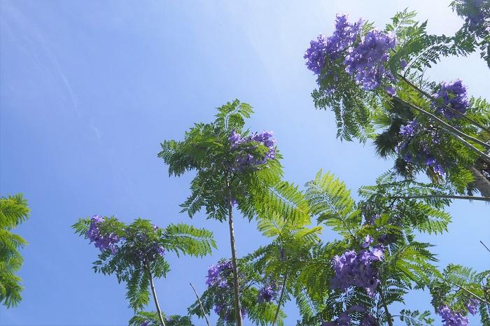ポルトガルでは、初夏になると青紫のジャガランダで街が紫一色に染まります。さしずめ紫の桜といったところでしょうか。私たち日本人が春の桜の開花を待ち焦がれているように、ポルトガルでは初夏のジャカランダの開花が楽しみにされているのです。  散った花も美しいジャカランダ ジャカランダの花は、散って地面に落ちた後も美しく、辺り一面を紫に染めます。この散った姿が美しいので、わざと掃き掃除をしないなんていう人もいるくらいです。石畳を紫の絨毯のように染めたり、芝生のグリーンに紫の模様を作りだしたり、樹から落ちた後も目を楽しませてくれます。  ジャカランダのルーツはブラジル ジャカランダは、ポルトガルの大航海時代にブラジルから持ち帰ったものだと言われています。緑豊かな南米の国で、霞むように咲き誇るジャカランダの花は、ポルトガル人たちの心を癒したのでしょうね。
