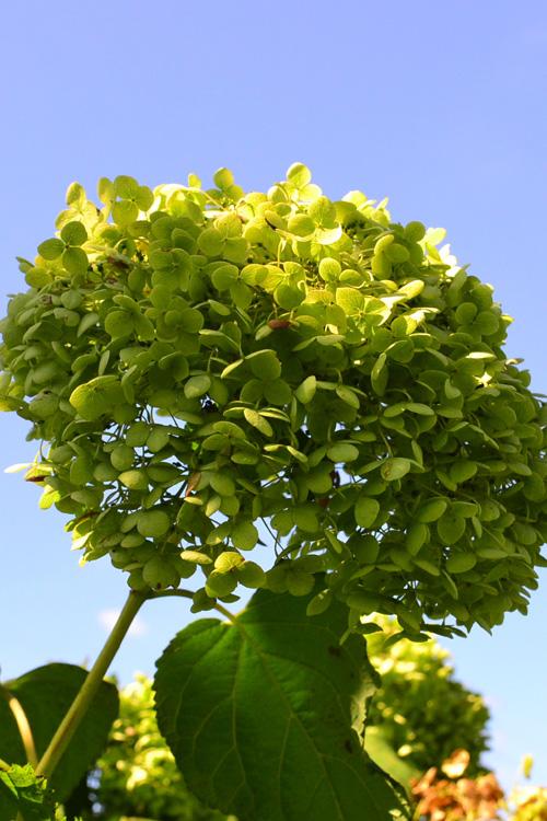 秋のアナベル  アナベルのもう一つの魅力は、アジサイと違ってアナベルは新枝咲きのアジサイなので、夏に剪定をしなくてよいことから、秋まで花をつけたまま楽しめるところです。秋色のアナベルはドライフラワーとしても楽しむことができます。