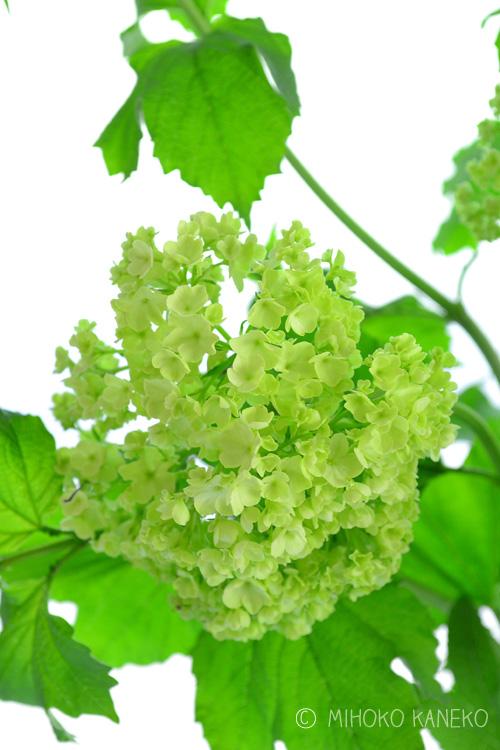 ビバーナム・スノーボール  ビバーナム・スノーボールは、スイカズラ科の落葉性低木。新緑の季節にグリーンから白に変化するので、白にこだわったホワイトガーデンをはじめ、どんな花色とも相性がよいので庭の植栽におすすめです。花の他、秋の紅葉もきれいです。  ビバーナムの種類はスノーボールをはじめ、ビバーナムと名前がついている花木がたくさんあり、植物の属性から違うものもあります。  (例 ビバーナム・ティナス、オオデマリ、ビバーナム・オプルス、ビバーナム・サーゲンティー・・・などビバーナムとついている花がたくさんあります。)  グリーン色の花のビバーナムを植えたい方は、「ビバーナム・スノーボール(学名Viburnum opulus Roseum」で探してみてください。