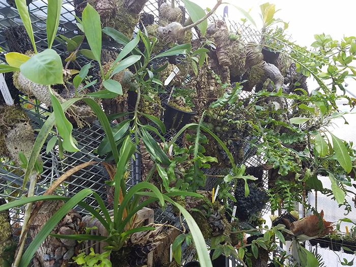 他にも色々な種類のアリ植物が並ぶそうです。アリ植物に興味がある人、育ててみたいと思っている人も、そうでない人もぜひお立ち寄りください。