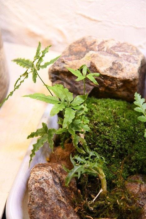 ランを育てていると、いつの間にか水苔の中からシダが生えてくることがあります。  いわば雑草ですが、我が家ではそうしたシダには、トイレで第二の人生を送ってもらっています。