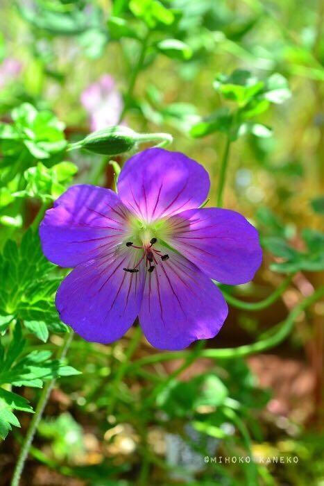 もともとのゲラニウムの花の時期は主に初夏であるのに対して、ゲラニウム・ロザンネイは初夏から晩秋までと開花期間が長いゲラニウムです。  最近はロザンネイ以外の品種でも、晩秋まで開花する品種がいくつかあるので、狭いスペースでゲラニウムを植栽したい方は開花期間が長い品種を選んでみてはいかがでしょうか。