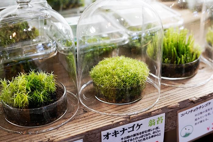 苔で人気があるのはタマゴケとオキナゴケ(写真中央)。タマゴケはふわふわっと可愛いルックスで、オキナゴケはこれぞ苔というイメージと育てやすいことで人気があります。
