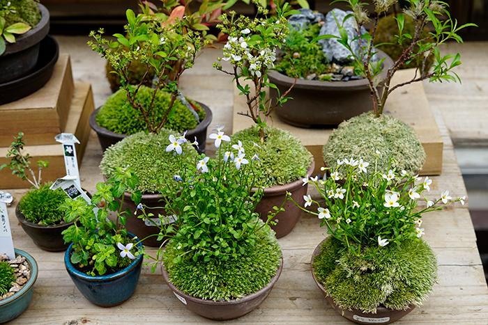 お店の入り口には苔玉と盆栽が、そして店内はもちろん苔がずらりと並んでいます。