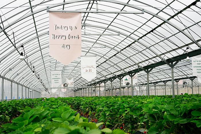温室内は一面にいちごがずらっと!もちろん、いちごの甘くていい香りがします。