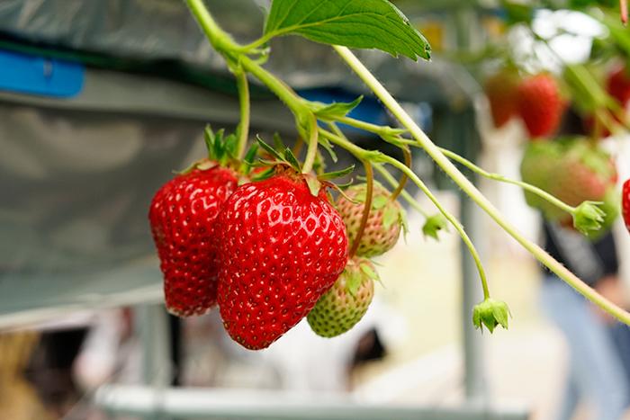 「あき姫」×「さちのか」の交配種です。果皮や果肉が美しい紅色でサイズが大きく、甘みだけでなく酸味とのバランスも良くとても美味しい。食べ応えもあります。