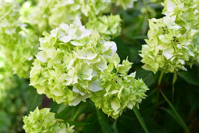 ヤマアジサイ・白扇  アジサイを小ぶりしたようなヤマアジサイ。白扇という品種は咲き始めはグリーン色、次第に白へと変化していくグリーン系のヤマアジサイの中で代表的な品種です。  ヤマアジサイは日本の各地で古くから自生している野生種のアジサイ。小ぶりの花が繊細で可憐な雰囲気です。  ヤマアジサイは日本の風土に良くあい、耐寒性と耐暑性もあり、直射日光が強すぎない日当たりの良い場所から半日陰で育てることができます。仕立て方によっては鉢植えで小さく育てる事もできます。