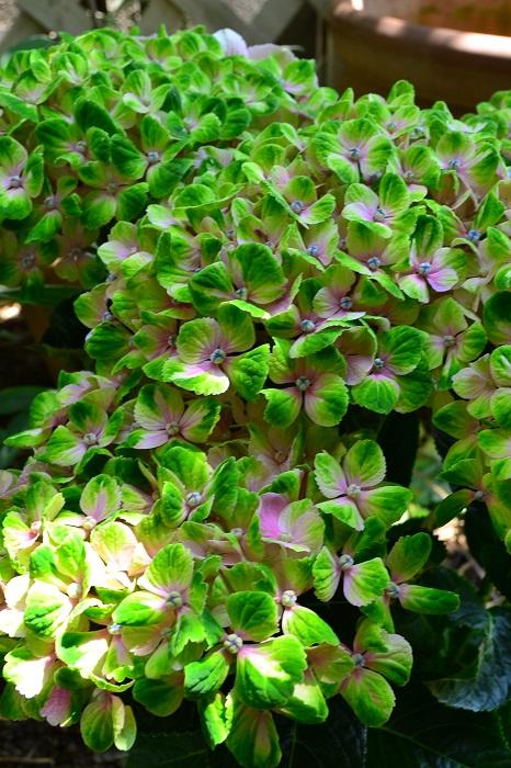 マジカル系アジサイ  最近は、新しく品種改良されてできたアジサイの中には、きれいな秋色に変化するように作られている品種も出てきました。西安(シーアン)やマジカル系など、年々色々な品種が出回っています。