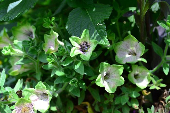 ぺチュニア・バイプレイヤー  初夏から秋まで長い開花期間のペチュニア。夏の寄せ植えの定番です。  華やかな色からシックな色まで品種が豊富なペチュニア。最近は写真のようなグリーン系のペチュニアもあります。寄せ植えに使うとさわやかな雰囲気に。