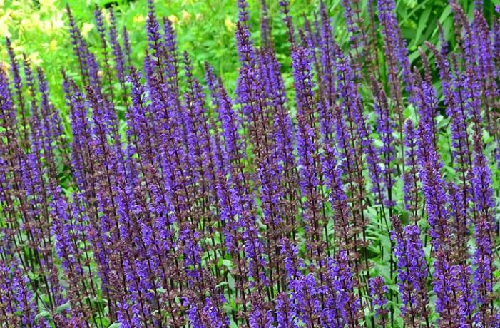 宿根草のサルビアやセージはたくさんの品種があります。ブルー系の穂状の花がさわやかな雰囲気を演出してくれます。サルビア、セージ類はおおむね開花期間が長いですが、品種によっては晩秋咲きのものもあるので、念のためプランツタグなどで開花期間を調べましょう。
