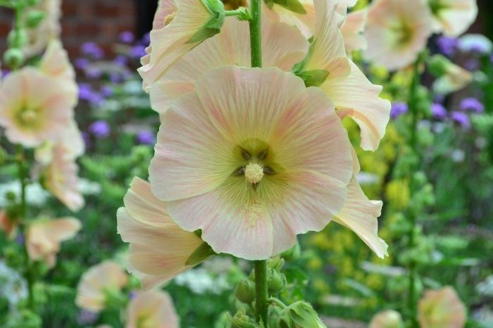 花の咲き方も一重の他八重咲き種もあり、小さなシャクヤクのような豪華な雰囲気です。花色も最近の新品種は、ブラック系やアプリコットなど、花色もとても豊富です。