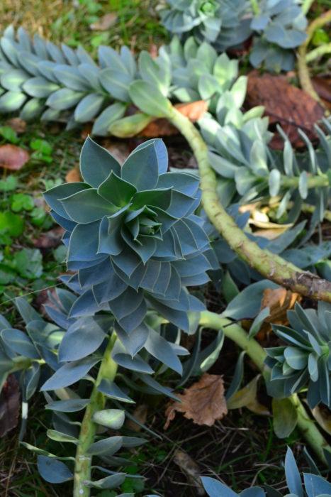植えっぱなしで毎年開花!庭や花壇におすすめの宿根草 ユーフォルビア