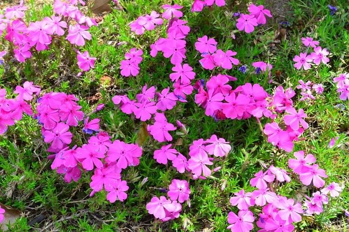 シバザクラは初夏に地面を覆うようにパステルカラーの花が開花します。シバザクラは日当たりを好み一度根付けば手間いらずなので、初心者でも管理しやすい宿根草です。  シバザクラの色はパステル系の色を中心に、種類がとても豊富です。ピンク系濃淡、紫色系濃淡、白、複色など色合いも様々なので、同じ時期に咲く近くの草花とカラーコーディネートすると素敵なカラーハーモニーが演出できます。