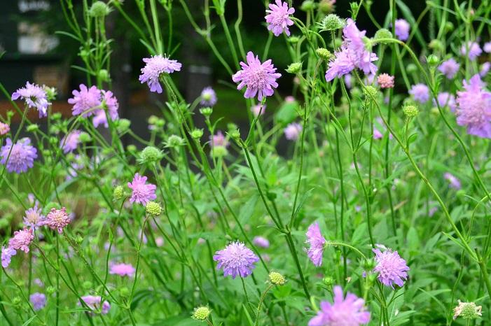 スカビオサは和名がマツムシソウという多年草です。園芸品種も多く存在し、多彩な花色と花のサイズが切り花としても人気です。