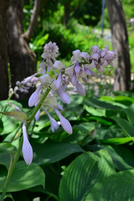 通常は葉ものとして植栽されますが、6月頃から長い花茎が立ち上がり穂状の花が開花します。(品種によって若干開花時期が違います。)梅雨や気温が高い季節に涼しげな雰囲気を演出してくれる存在です。