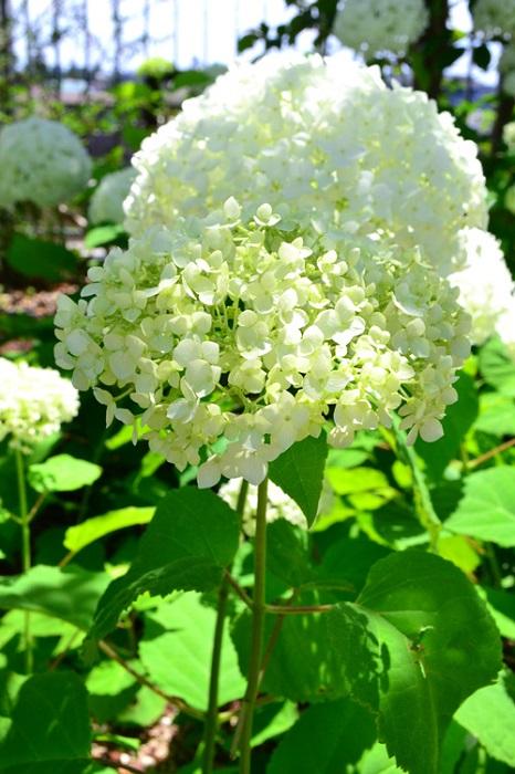 アナベルは、アメリカアジサイやアメリカノリノキの別名を持つアジサイの仲間の落葉性低木。初夏に20~30cmの大きな花が開花し、花の色は最初はグリーン、咲き進むにしたがって白に変化、その後秋にかけて秋色グリーンへと色が変わります。西洋アジサイと違い新枝咲きのアジサイのため、秋まで花を剪定せずに楽しめる利点があります。