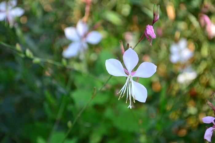ガウラ 植えっぱなしで毎年開花!庭や花壇におすすめの宿根草