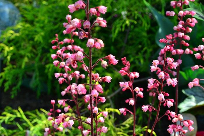 ヒューケラの花は原種のツボサンゴをはじめ園芸品種も美しく、すっと立ち上がった花茎から釣鐘型の小花を群れるように咲かせます。ヒューケラは花もちもよく約1カ月咲き続けるので切り花としても楽しめます。