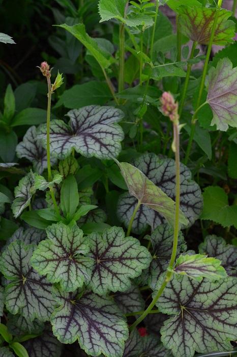 ヒューケラは草丈20cm~50cm程度で葉が重なるように密に茂り、葉色のバリエーションが幅広く、カラーリーフプランツとして寄せ植えや花壇に用いられる近年人気の高い宿根草(多年草)です。