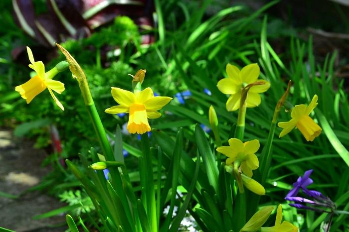 スイセンは品種によって秋咲き、冬咲き、春咲きと開花時期がかなり違います。3~4年は植えっぱなしでも大丈夫な球根の花です。