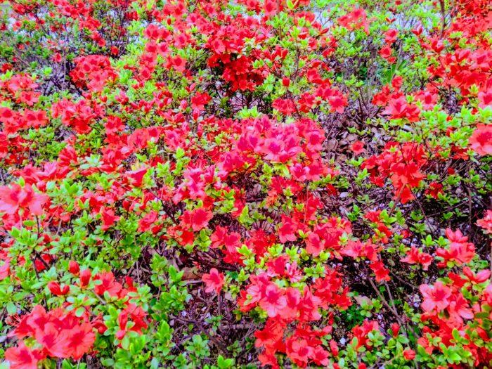 東京都新宿区のキリシマツヅジ(霧島躑躅)。時代は変わっても、江戸時代から明治時代末期まで、新宿区大久保百人町のツツジは長い繁栄を続けます。明治から大正にかけても、盛んに江戸キリシマの苗木は生産されたと言われています。