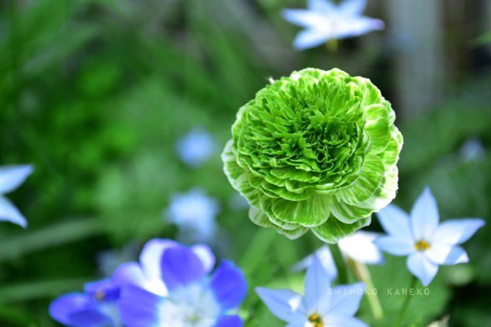 球根の花の中には開花期間が短い花もありますが、ラナンキュラスは1月頃から苗が流通しはじめ、4月くらいまで花が開花しているので冬から春の花壇や寄せ植えの素材としておすすめです。  複色の色合いが多いラナンキュラス。グリーン系でもたくさんの色あいのラナンキュラスの苗が流通しています。