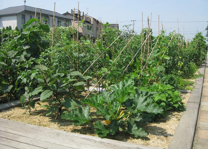 アグリス成城の夏の様子です。向こう側が見えないくらい野菜たちが育っています。  インストラクターの田中さんは、アグリス成城の夏が一番好きだそうです。  「夏の野菜たちの生長はとても早く、1週間でぐんぐん育つんです。夏野菜の収穫のわくわくはたまらないです。」と、田中さん。  夏野菜の植え付けは5月中旬くらいまでがベスト。5月末まではぎりぎりOKとのことです。