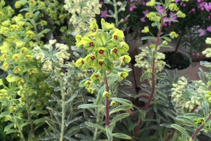 ユーフォルビア 植えっぱなしで毎年開花!庭や花壇におすすめの宿根草