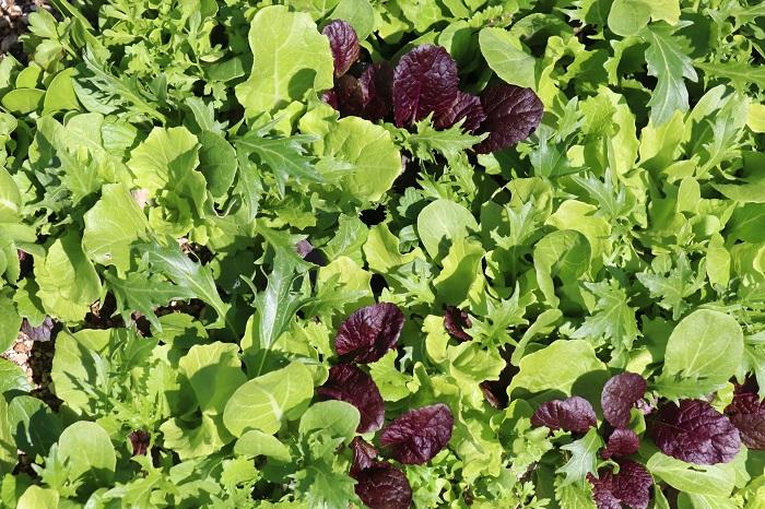 3月に種まきしたミックスレタスたち。とっても美味しそうです!