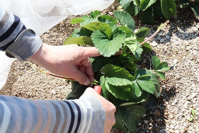 取材に行った4月中旬は、寒い冬を超えて立派に生長した越冬野菜や、3月に種まきしたレタスやコマツナなどの葉物、ジャガイモなどが元気に育っていました。こちらは、越冬野菜のイチゴを手入れしている会員の方です。