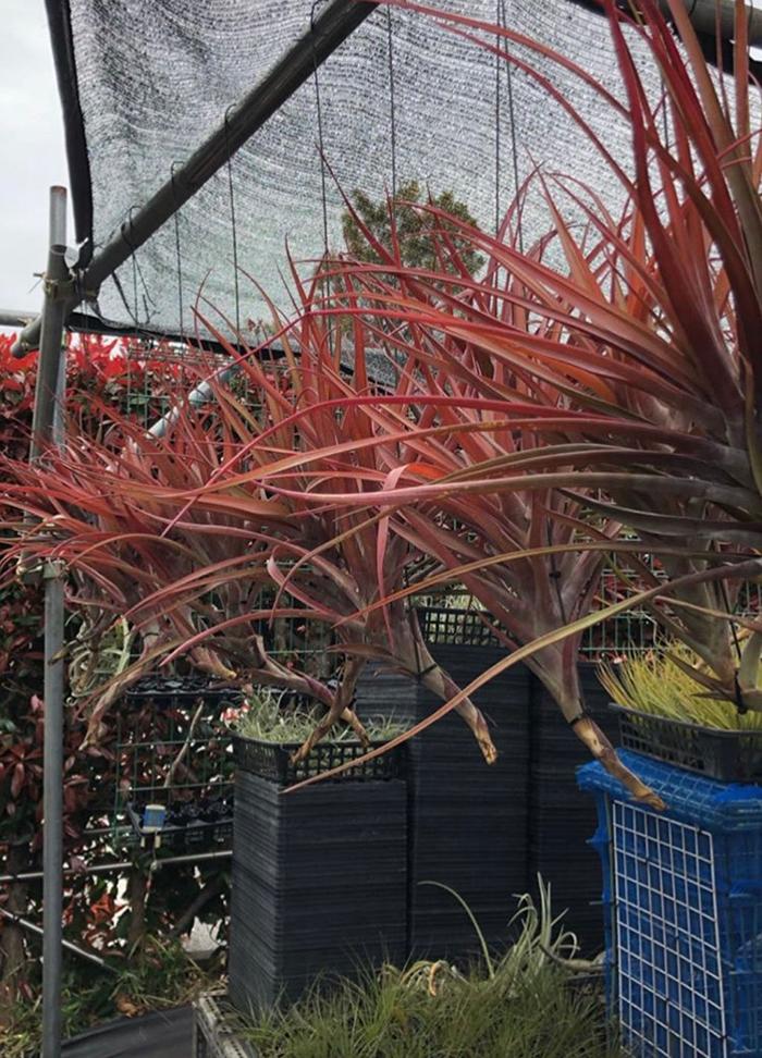 赤味を帯びた葉が美しいメキシコ・ベラクルス産のティランジア・ノバキー。  こちらはティランジア・ドゥラティ。なかなか出会えないサイズのティランジア。とても迫力のある大株は1つあるだけでも存在感が半端ないのが写真からも伝わります。
