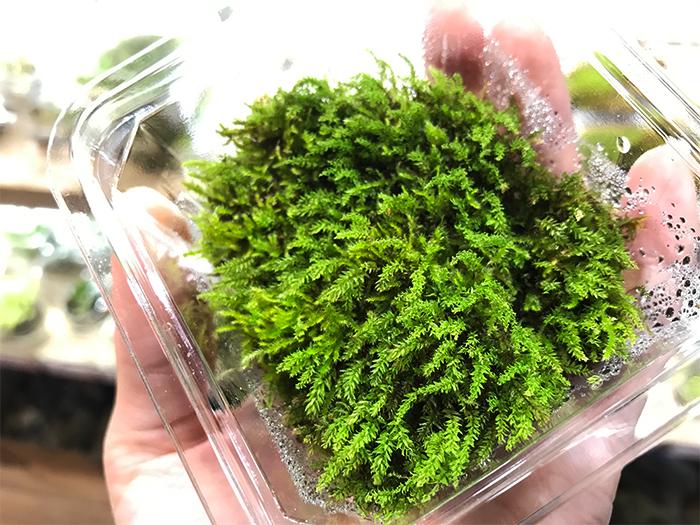 「コバノチョウチンゴケです。新芽が出る時期が1月〜2月くらいと早いので、春の訪れを告げてくれますよ」と今田さん。コバノチョウチンゴケは明るい緑色の細かく先端がシュッと尖っている葉をしています。スレンダーで美人な苔というイメージ。