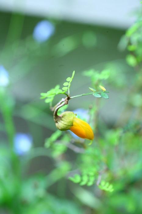 オレンジ色の可愛らしい花を咲かせます。