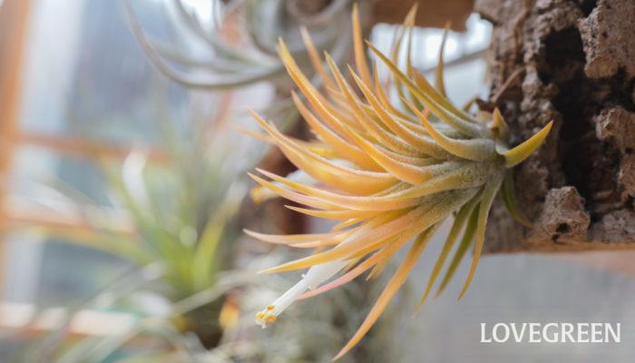 ティランジア・イオナンタ・ドゥルイドは鮮やかな山吹色に染まるイオナンタです。よくアルビノ種と間違われますが、アルビノ種がレモンイエローなのに対し、本種は山吹色になります。
