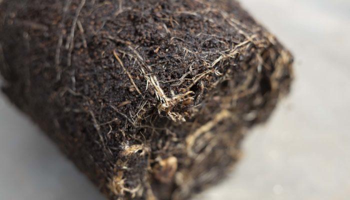 まず始めにヘテロパナックス・フレグランスを鉢から抜いて、根を確認します。この時、根があまり張っていないようであれば同じ大きさの鉢にし、根が十分に張っているようであれば一回り大きい鉢に植え替えます。
