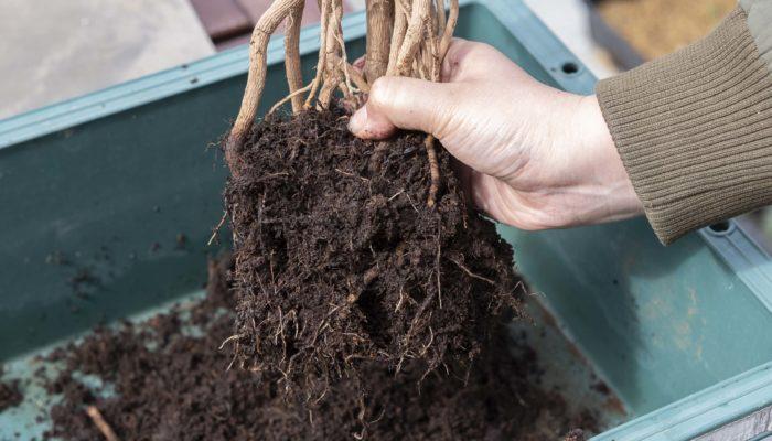 ある程度古い土が残っていて大丈夫です。根鉢が崩せたら新しい鉢に鉢底石を入れ、観葉植物用の土を入れて植え付けます。