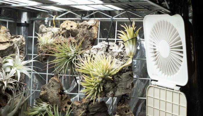 着生植物全般に言えることだと思いますが、ティランジア(エアプランツ)は一般的な観葉植物などと比べても蒸れを嫌い、風通しを好む傾向にあります。特に梅雨時などの湿度の高い時期は要注意で、一瞬で蒸れて枯れることがあります。ティランジア(エアプランツ)が蒸れた時は葉の株元が黒くなり、掴むと手の上で葉がバラバラになり独特な発酵臭のようなものがします。  屋内だけでなく、屋外であっても酷暑が続く夏などには扇風機で風を当ててあげると調子が良くなります。ただし、あまりに強い風を当てすぎてしまうと乾燥してダメージを受けますので、あくまでティランジア(エアプランツ)の周囲にある空気を循環させるようなイメージです。