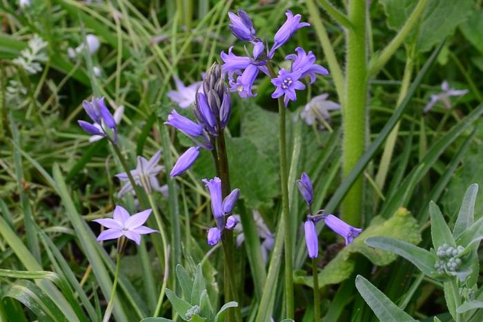 シラー(ヒアシンソイデス)は、秋に植えて翌年4月~5月ごろに開花する球根花です。花の色は青紫、白、ピンクの3色があります。花の形はつり鐘状(ベル型)で目立つ花ではないですが、ひっそりと咲く花姿がガーデナーには人気の球根花です。